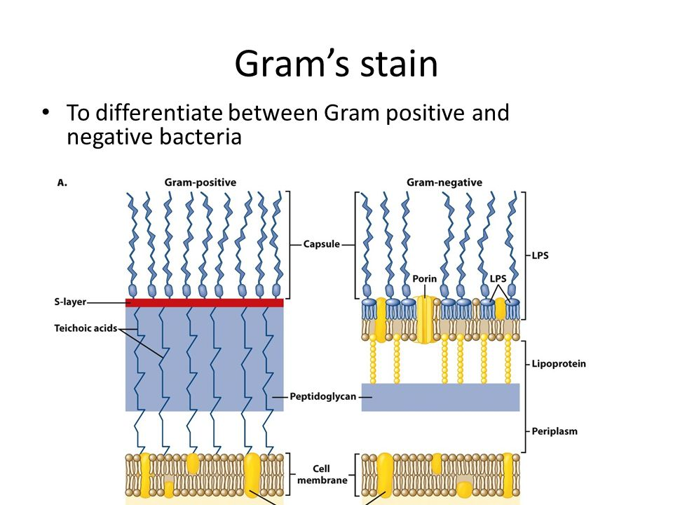 Gram's stain To differentiate between Gram positive and negative bacteria