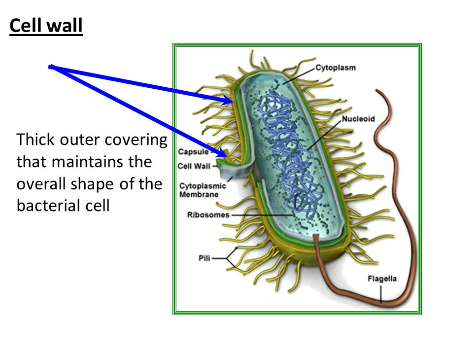 Cell wall Thick outer covering that maintains the overall shape of the bacterial cell