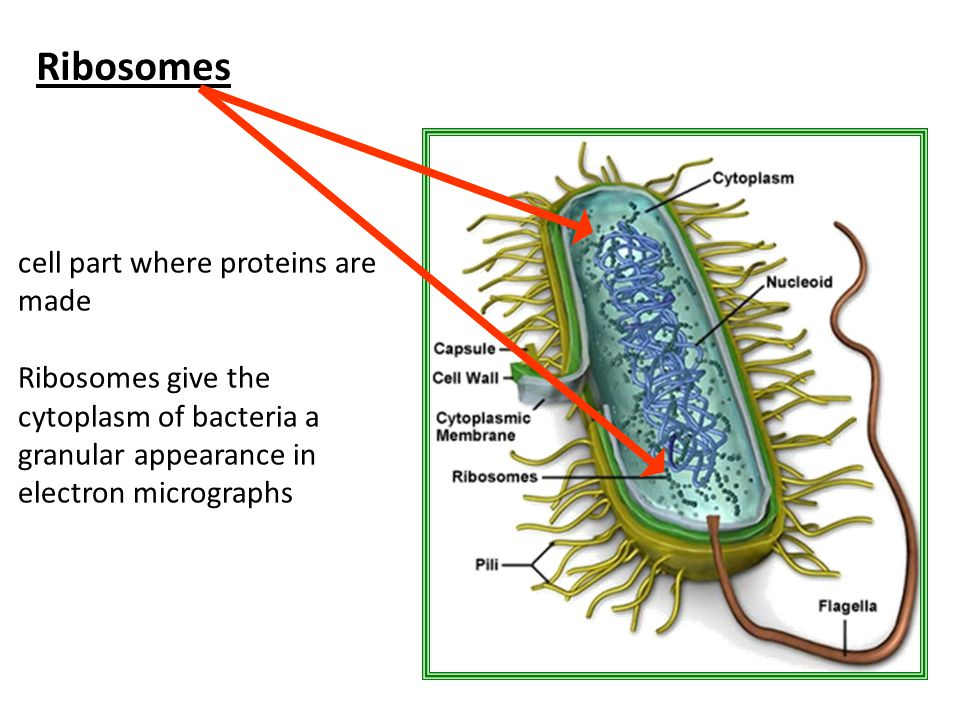 Ribosomes cell part where proteins are made