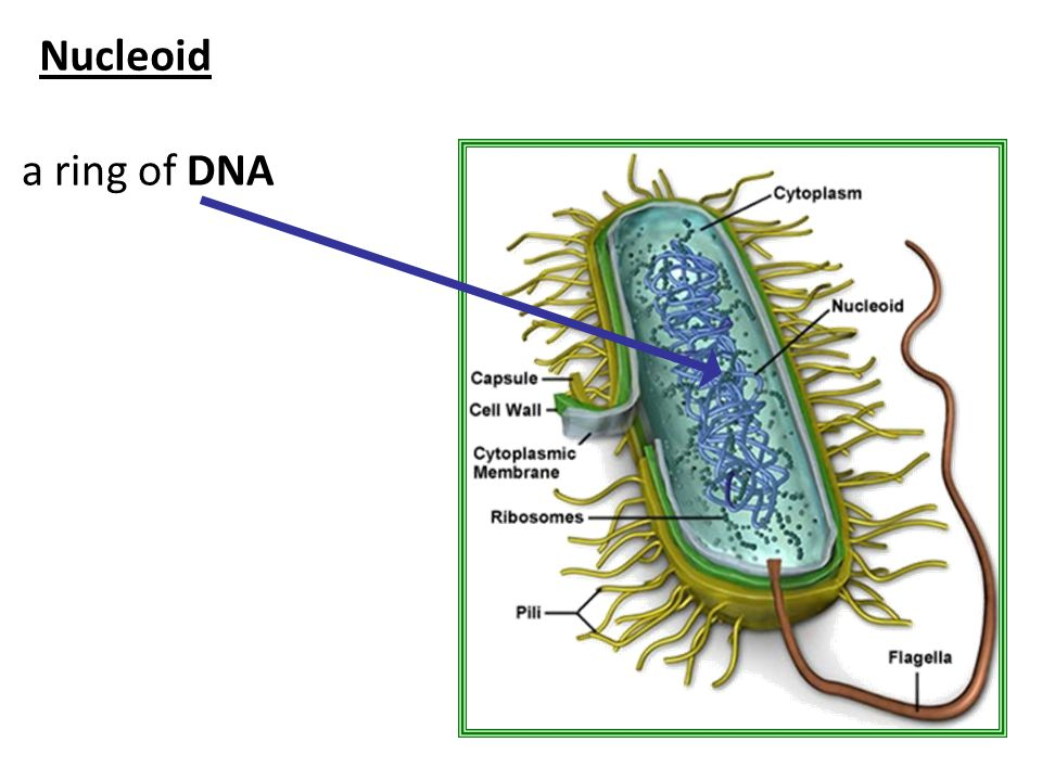 Nucleoid a ring of DNA