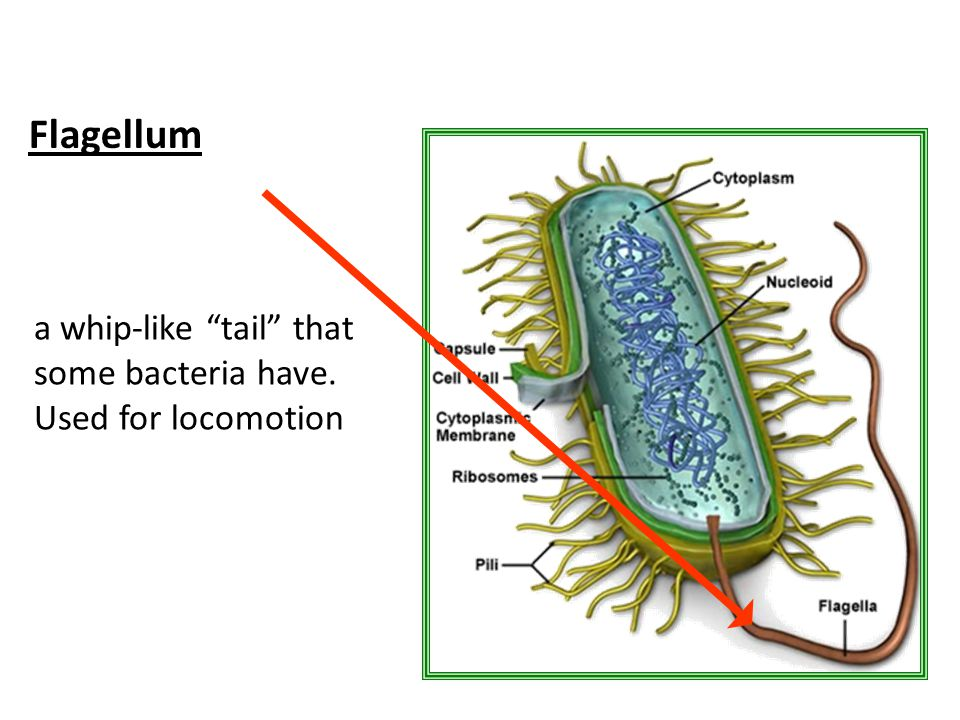 Flagellum a whip-like tail that some bacteria have. Used for locomotion