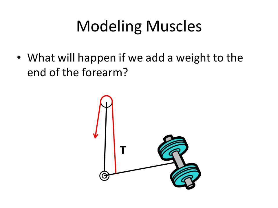 Modeling Muscles What will happen if we add a weight to the end of the forearm T