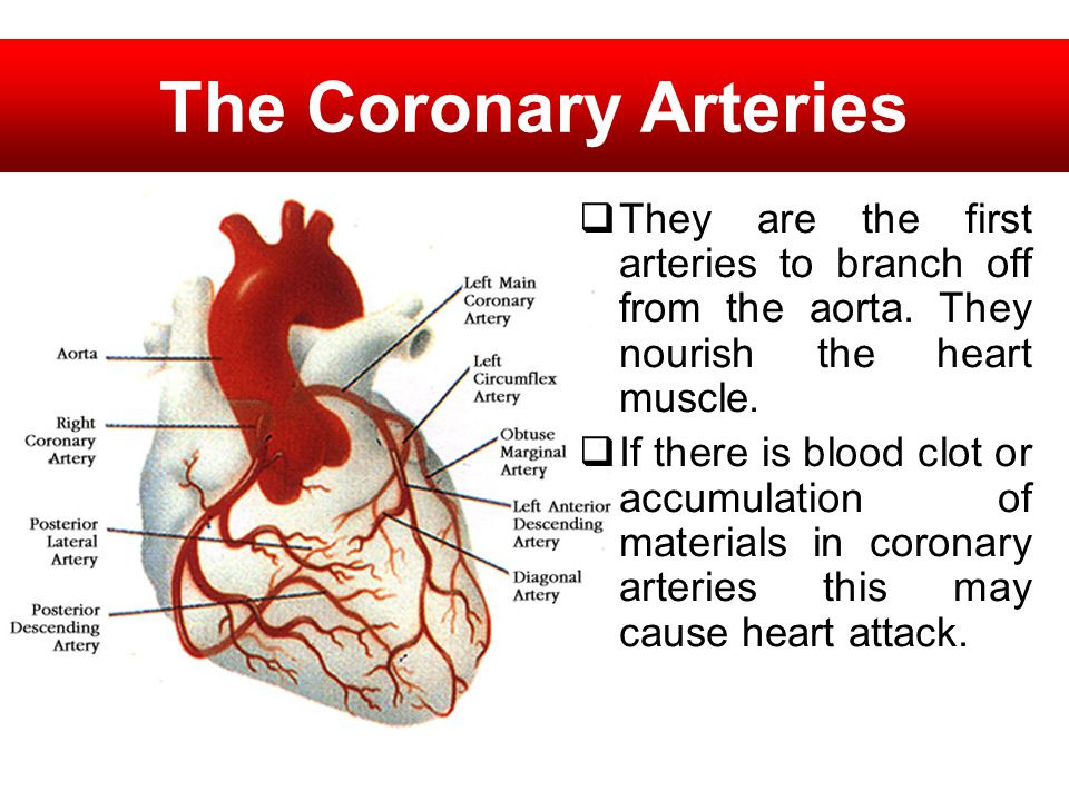 The Coronary Arteries They are the first arteries to branch off from the aorta. They nourish the heart muscle.