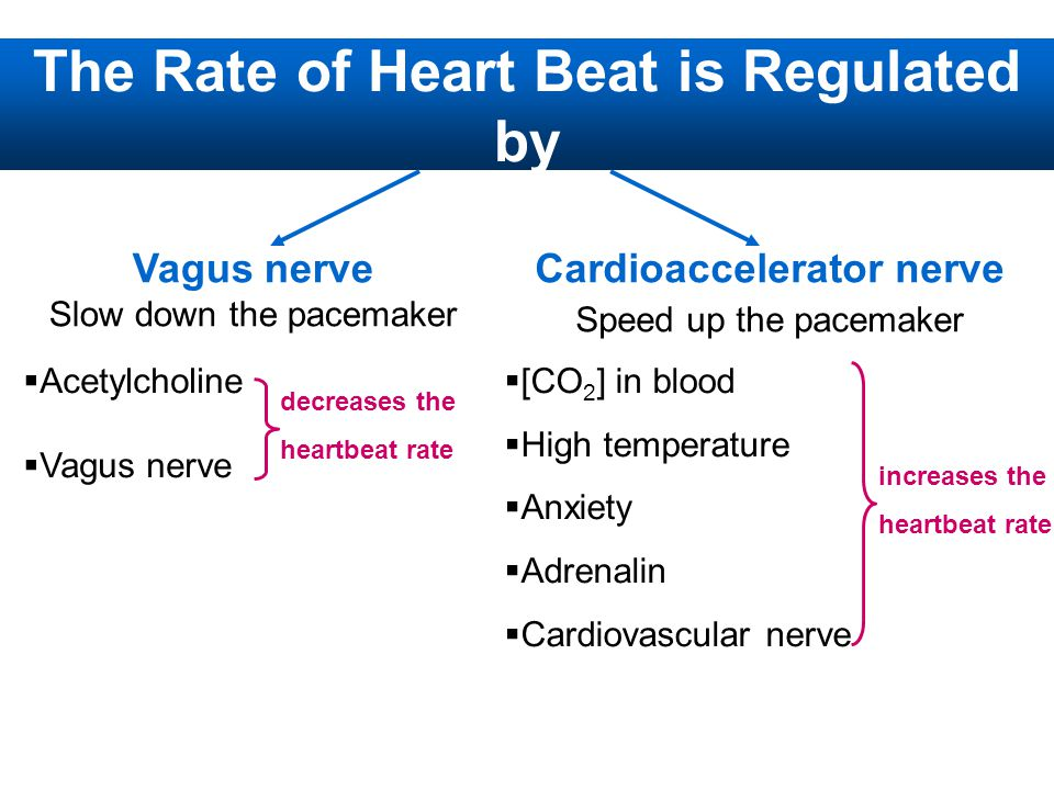 The Rate of Heart Beat is Regulated by