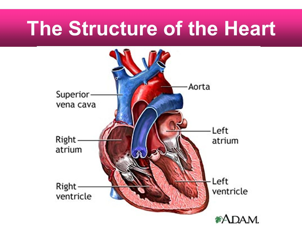 The Structure of the Heart
