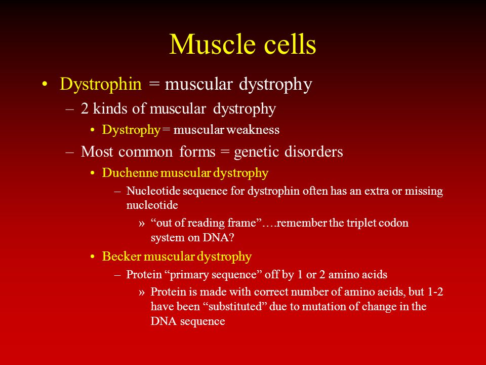 Muscle cells Dystrophin = muscular dystrophy