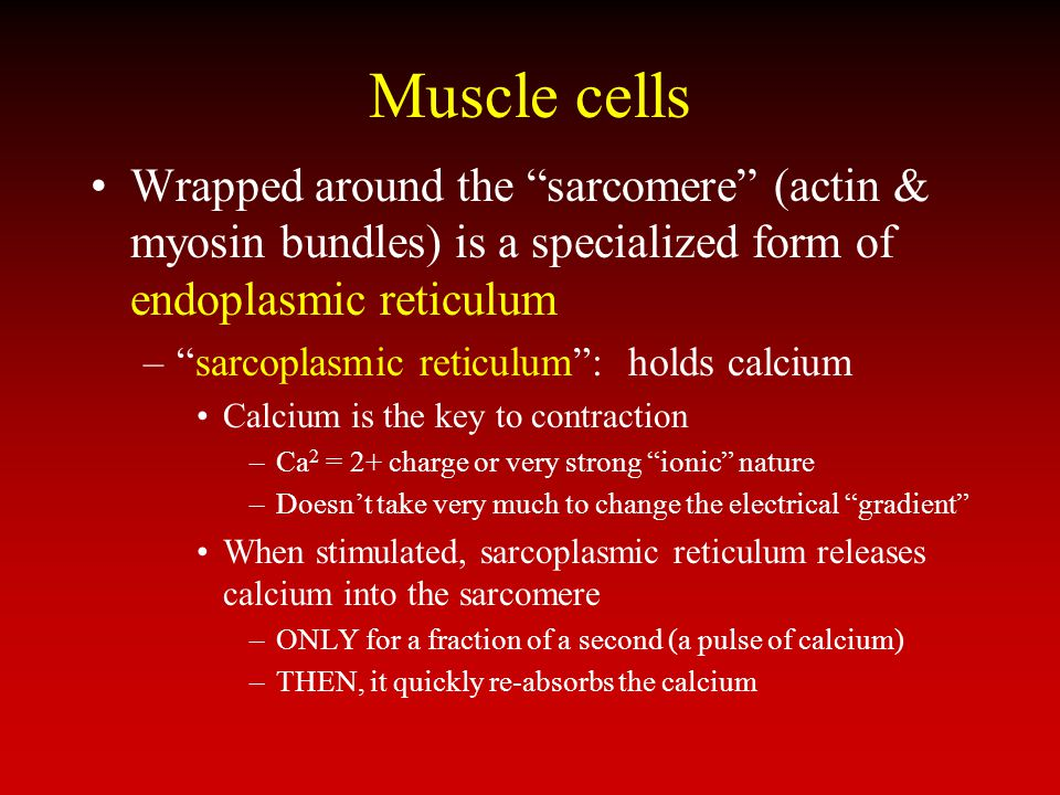 Muscle cells Wrapped around the sarcomere (actin & myosin bundles) is a specialized form of endoplasmic reticulum.