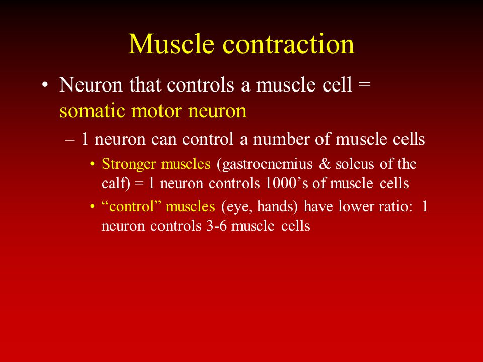 Muscle contraction Neuron that controls a muscle cell = somatic motor neuron. 1 neuron can control a number of muscle cells.