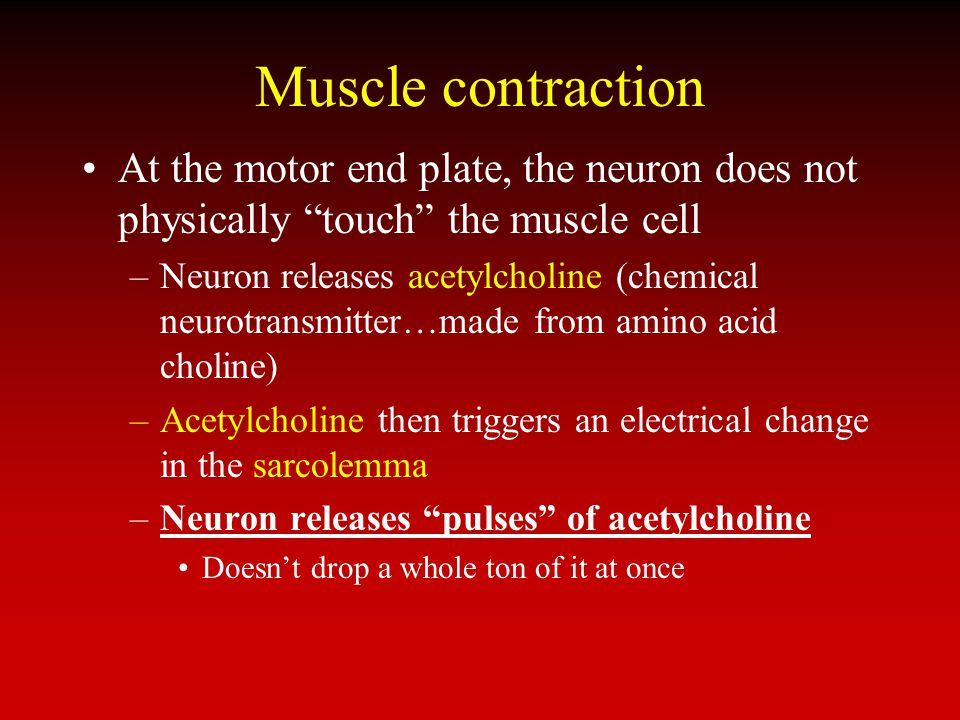 Muscle contraction At the motor end plate, the neuron does not physically touch the muscle cell.