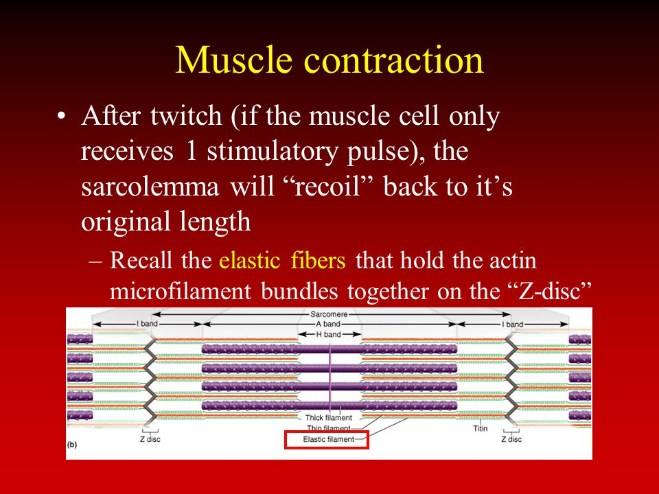 Muscle contraction After twitch (if the muscle cell only receives 1 stimulatory pulse), the sarcolemma will recoil back to it's original length.