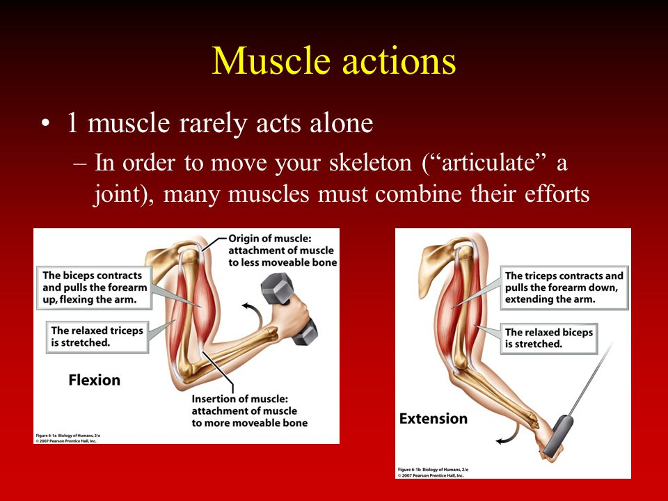 Muscle actions 1 muscle rarely acts alone