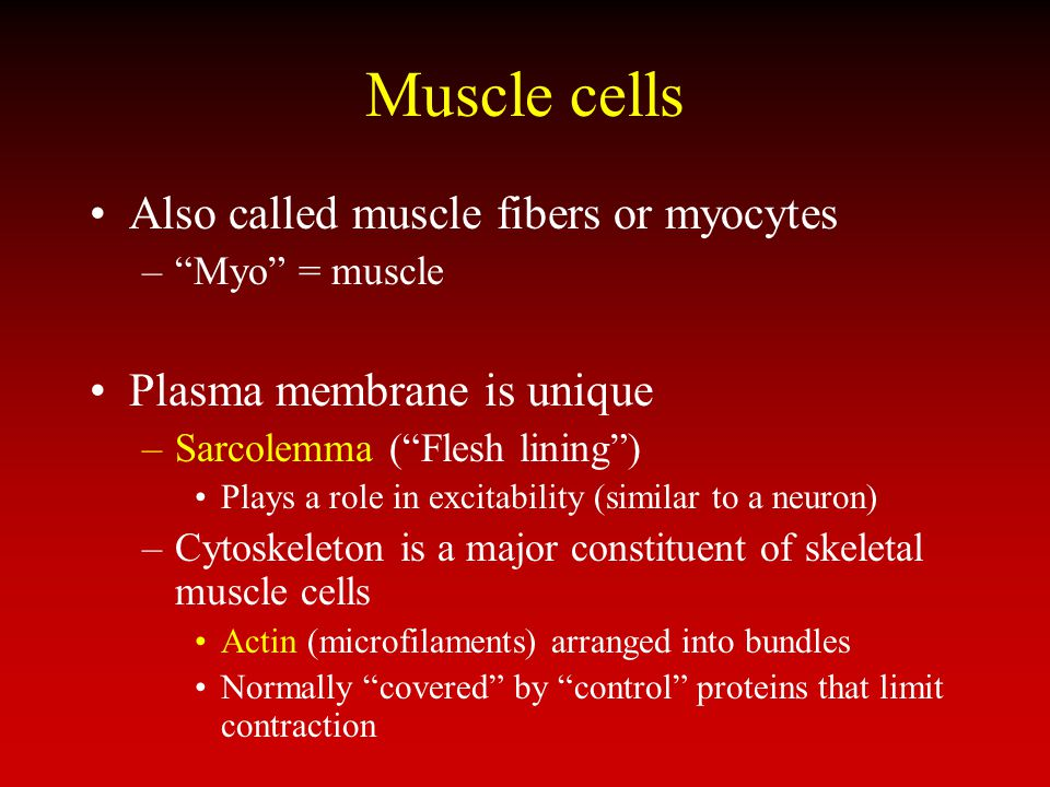 Muscle cells Also called muscle fibers or myocytes
