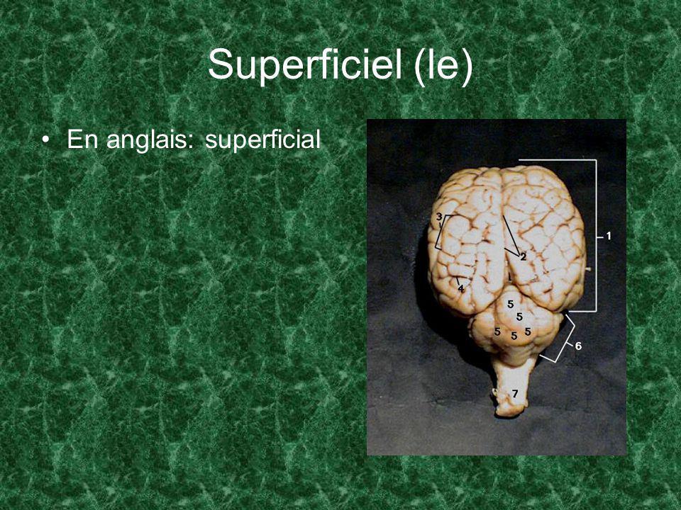 Superficiel (le) En anglais: superficial