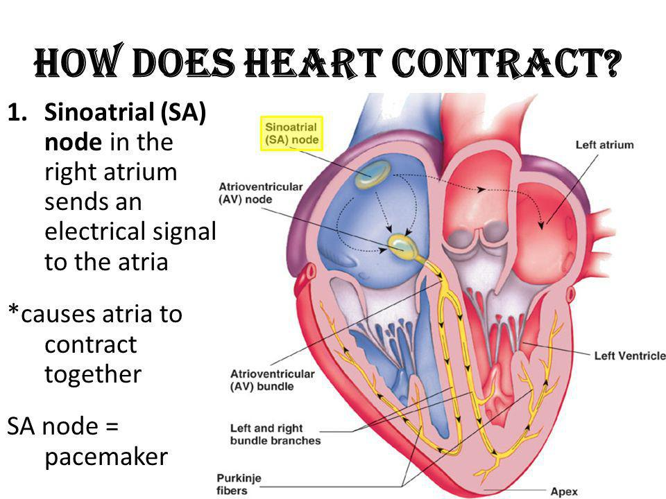 How Does Heart Contract