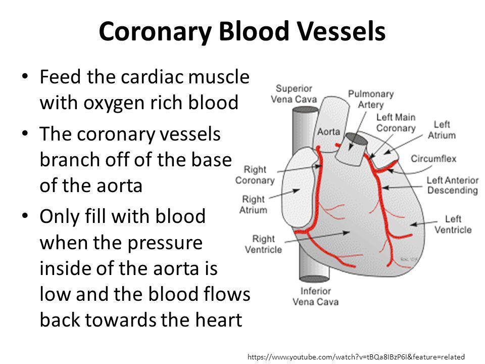 Coronary Blood Vessels