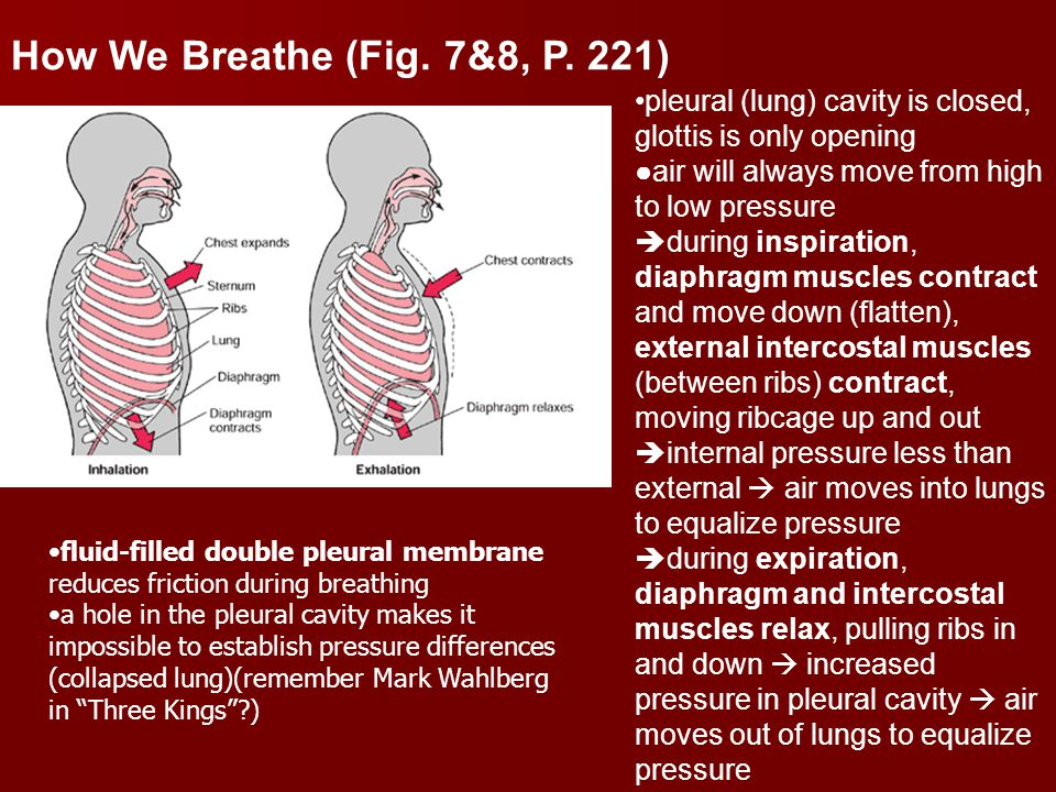 How We Breathe (Fig. 7&8, P. 221) pleural (lung) cavity is closed, glottis is only opening. air will always move from high to low pressure.