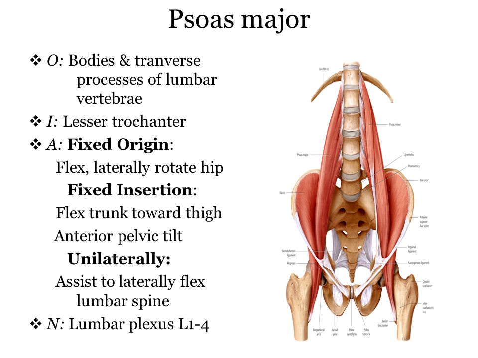 Psoas major O: Bodies & tranverse processes of lumbar vertebrae