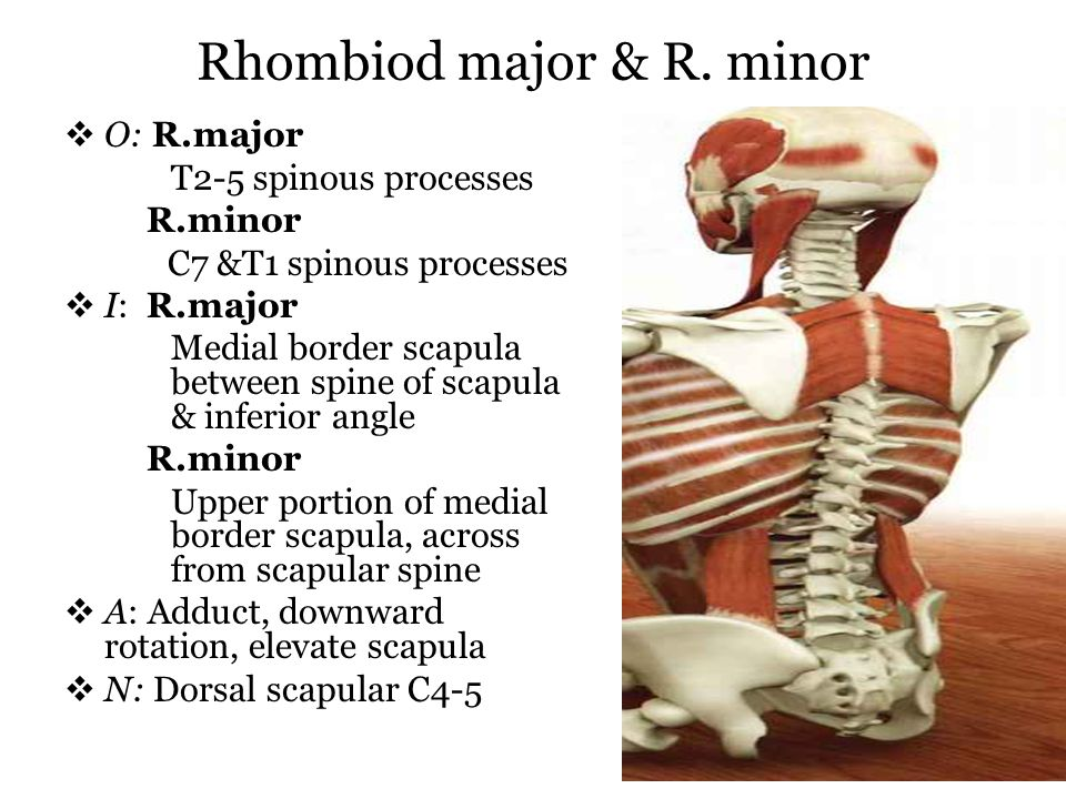 Rhombiod major & R. minor