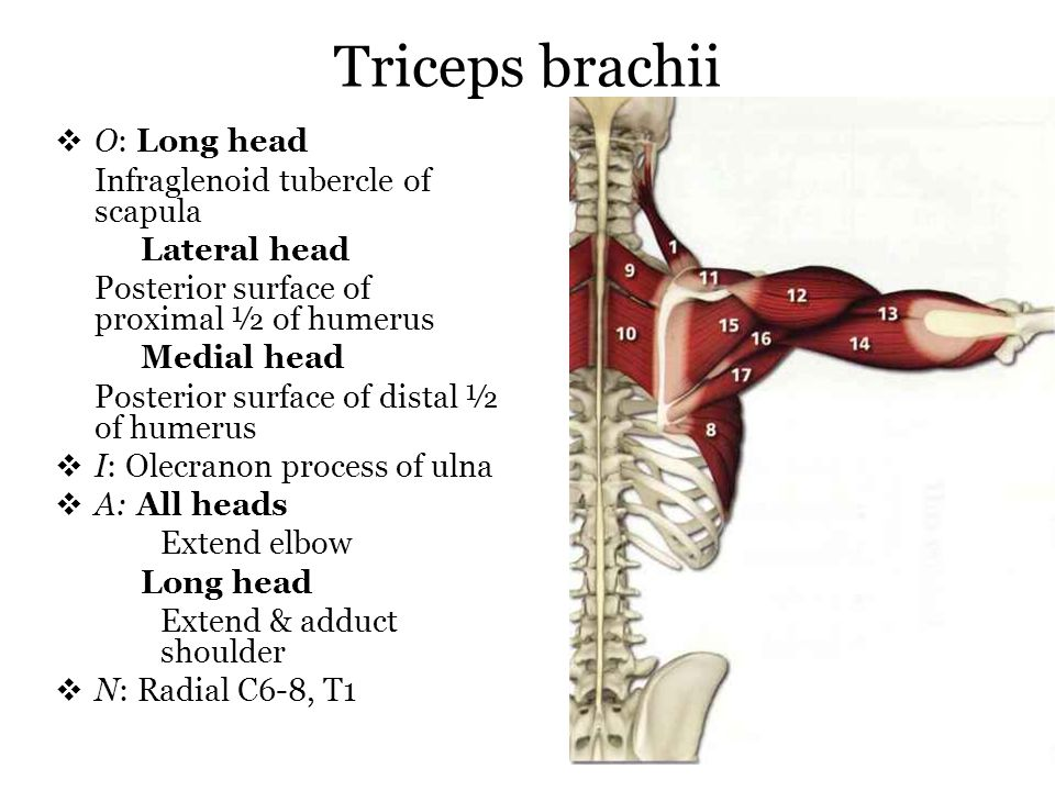 Triceps brachii O: Long head Infraglenoid tubercle of scapula