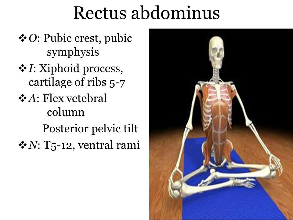 Rectus abdominus O: Pubic crest, pubic symphysis