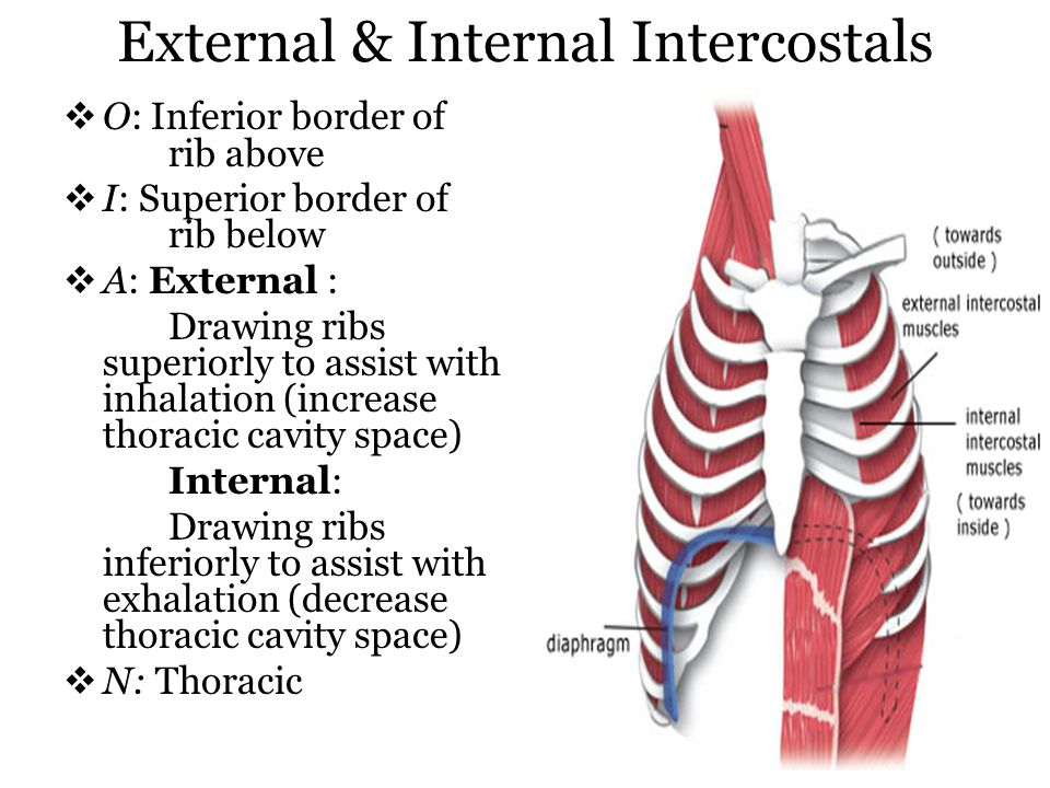 External & Internal Intercostals