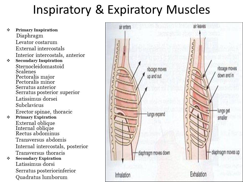Inspiratory & Expiratory Muscles