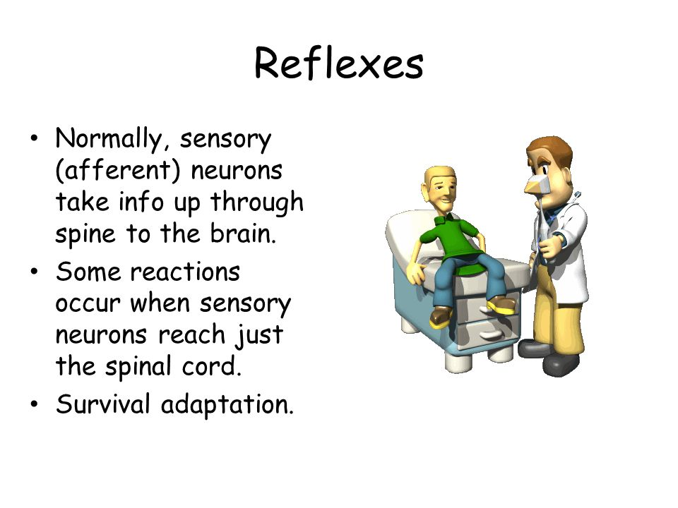 Reflexes Normally, sensory (afferent) neurons take info up through spine to the brain.