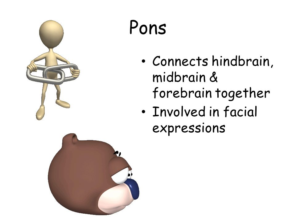 Pons Connects hindbrain, midbrain & forebrain together