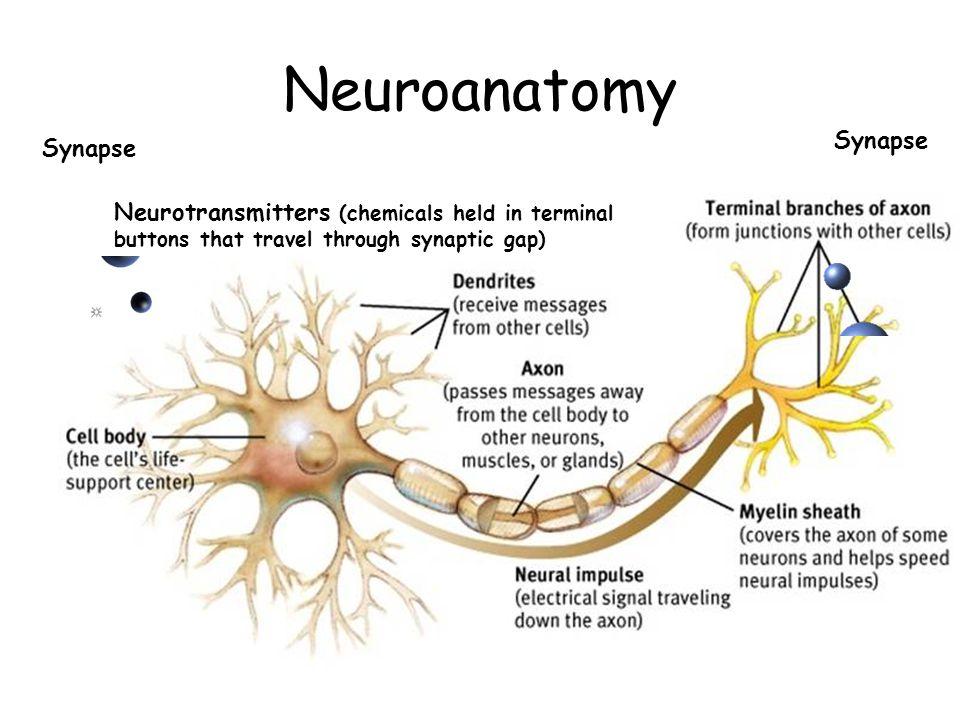 Neuroanatomy Synapse Synapse