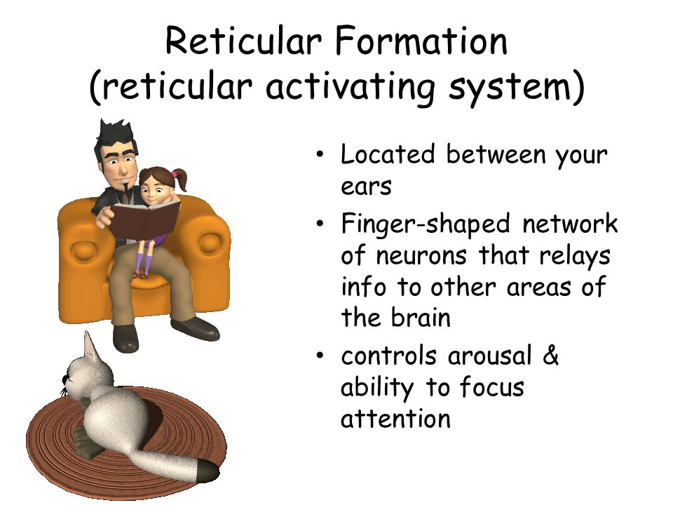 Reticular Formation (reticular activating system)