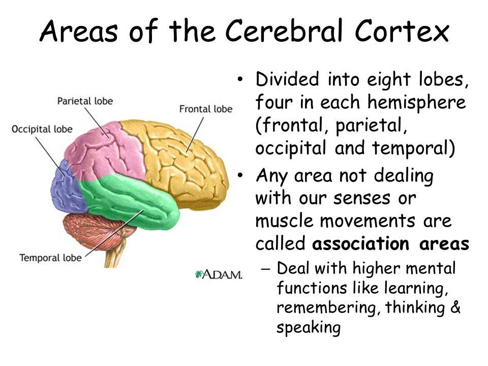 Areas of the Cerebral Cortex