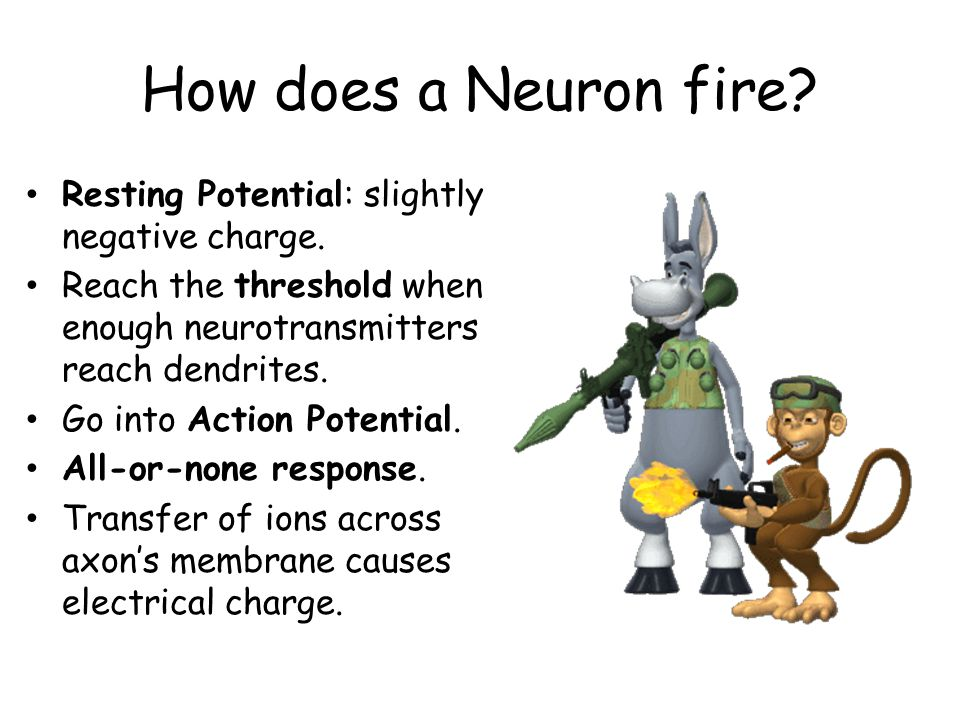 How does a Neuron fire Resting Potential: slightly negative charge.