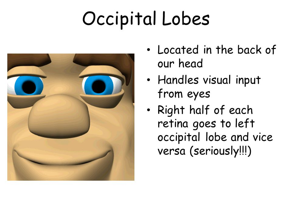 Occipital Lobes Located in the back of our head