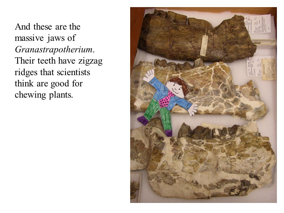 And these are the massive jaws of Granastrapotherium