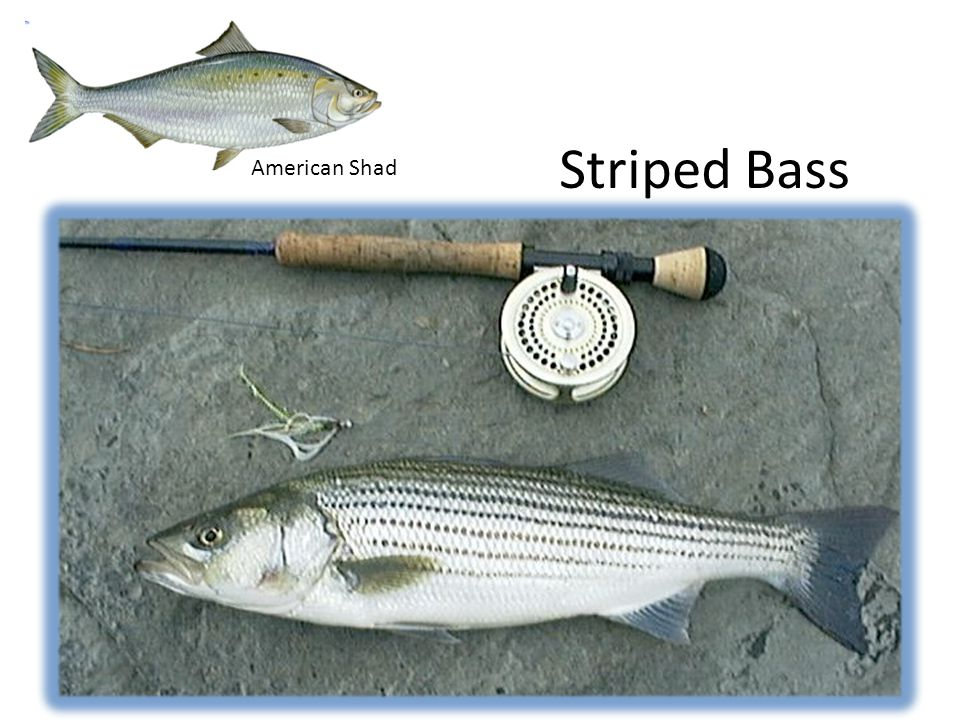 Striped Bass American Shad