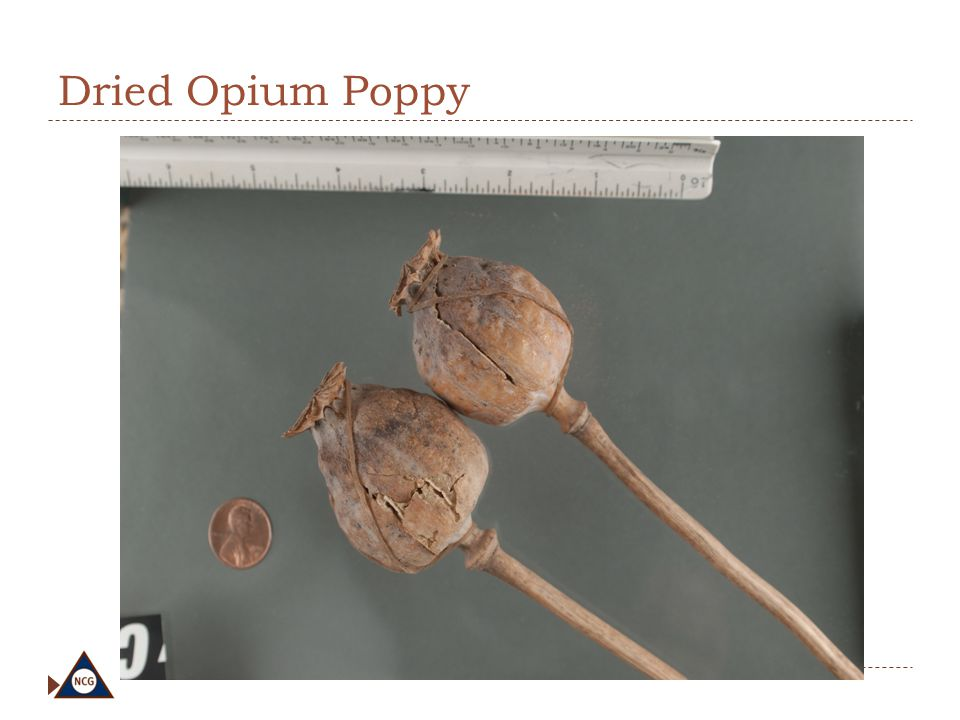 Dried Opium Poppy