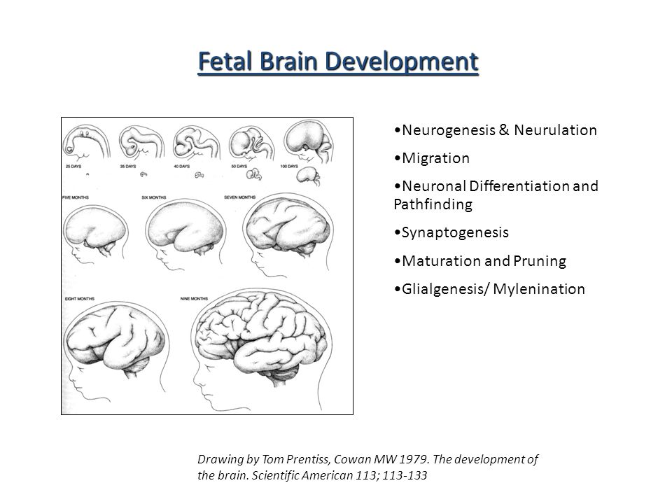 Fetal Brain Development