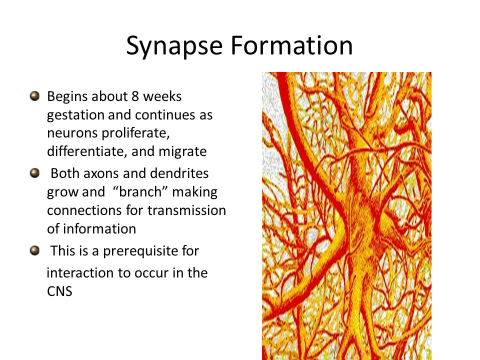 Synapse Formation Begins about 8 weeks gestation and continues as neurons proliferate, differentiate, and migrate.