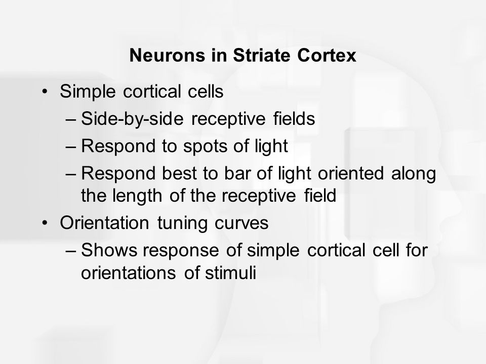 Neurons in Striate Cortex