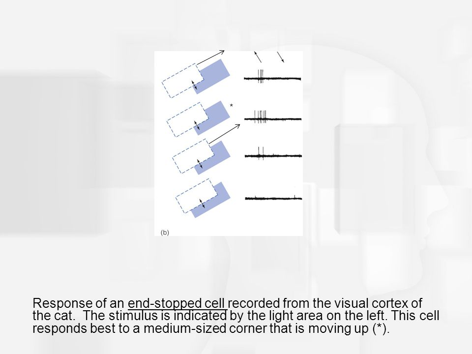 Response of an end-stopped cell recorded from the visual cortex of the cat.