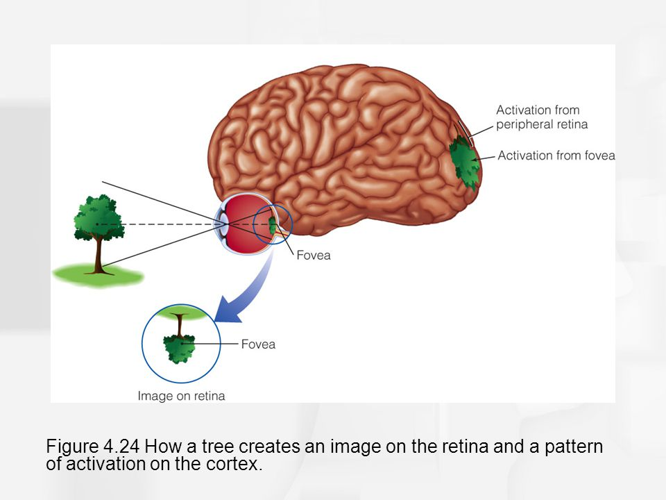 Figure 4.24 How a tree creates an image on the retina and a pattern of activation on the cortex.