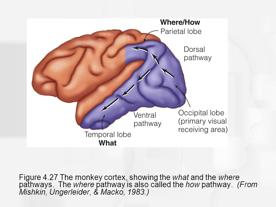 Figure 4.27 The monkey cortex, showing the what and the where pathways.