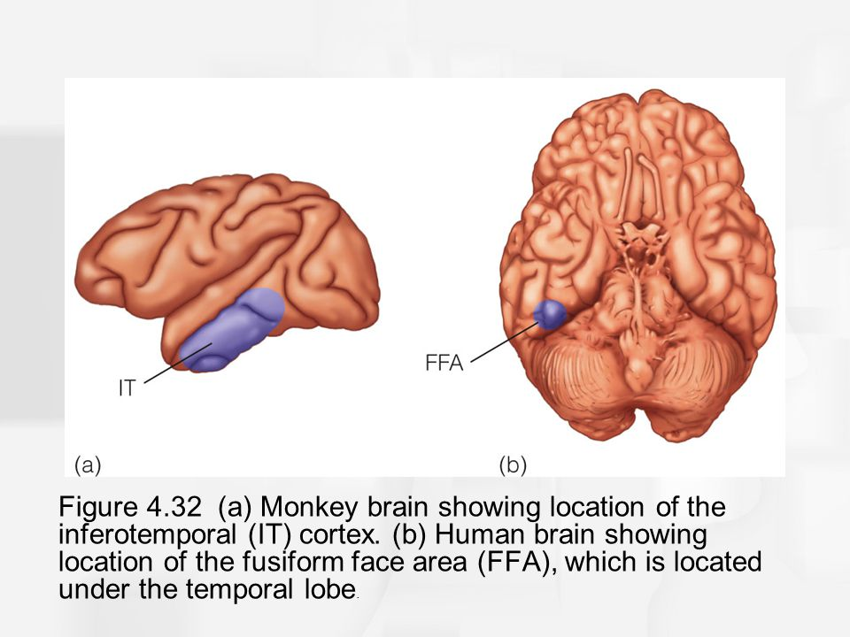 Figure 4.32 (a) Monkey brain showing location of the inferotemporal (IT) cortex.