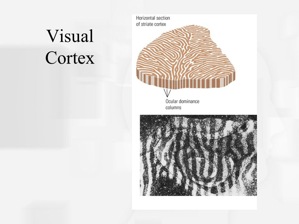 Visual Cortex