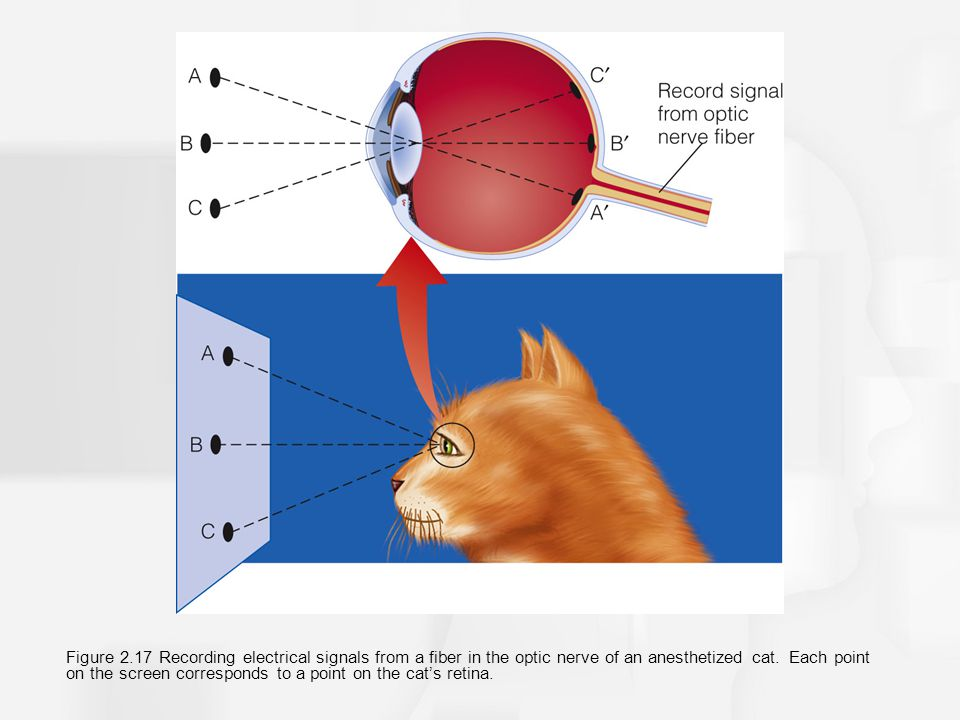 Figure 2.17 Recording electrical signals from a fiber in the optic nerve of an anesthetized cat.