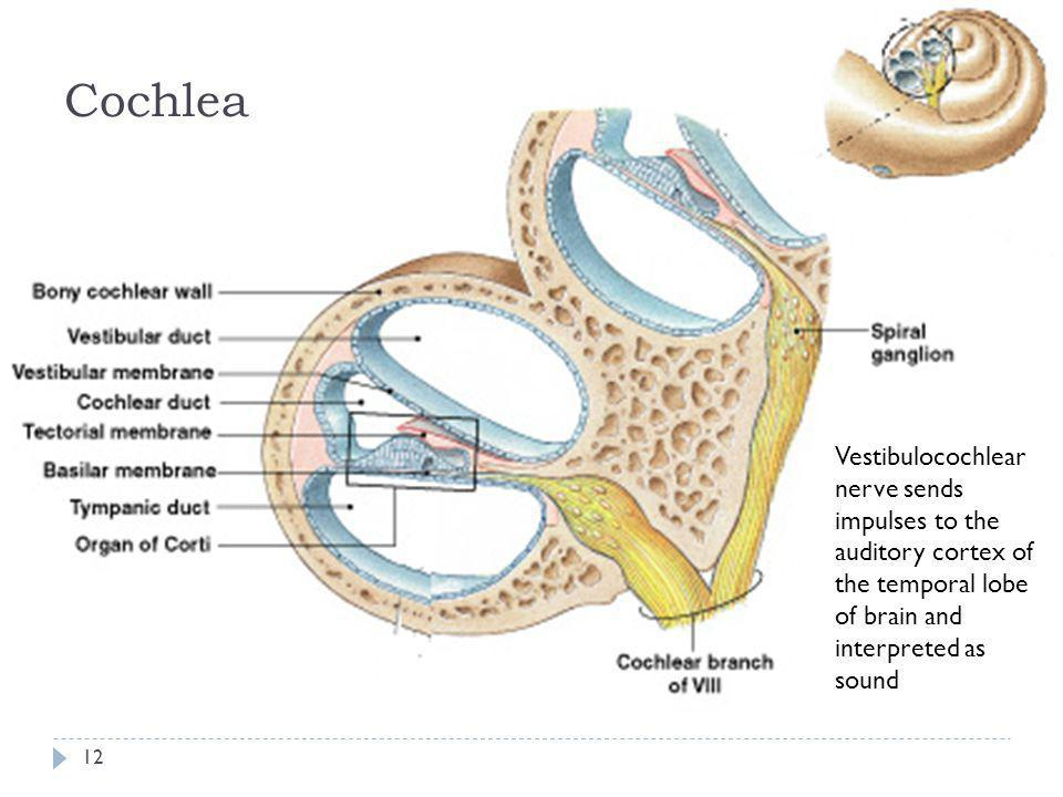 Cochlea Vestibulocochlear nerve sends impulses to the auditory cortex of the temporal lobe of brain and interpreted as sound.