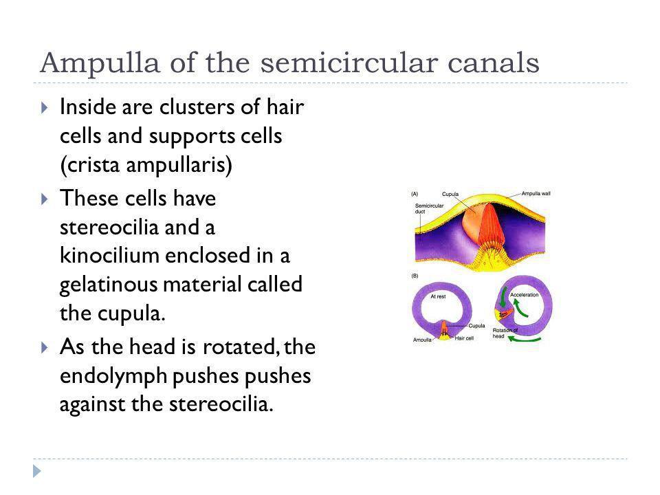 Ampulla of the semicircular canals