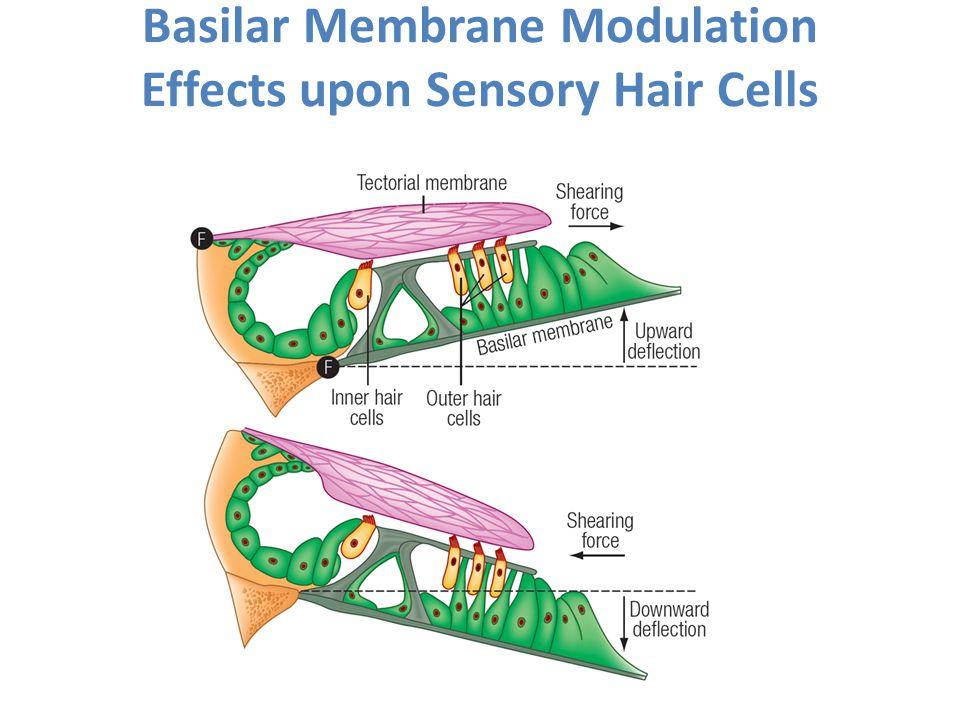 Basilar Membrane Modulation Effects upon Sensory Hair Cells