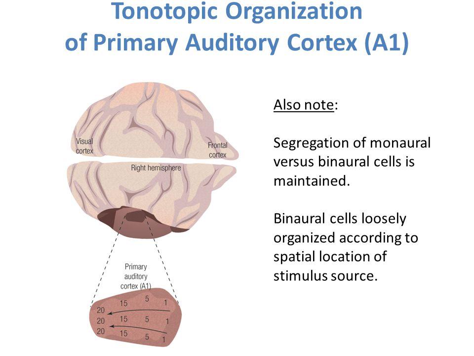 Tonotopic Organization of Primary Auditory Cortex (A1)