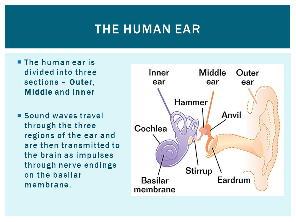 The human ear The human ear is divided into three sections – Outer, Middle and Inner.